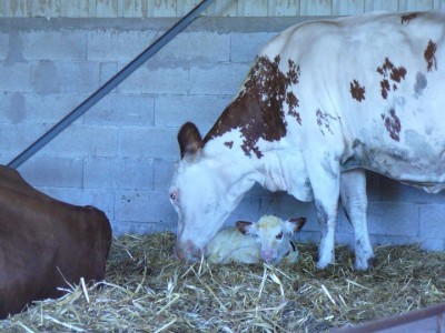 les vaches 3