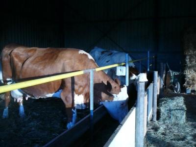 les vaches2