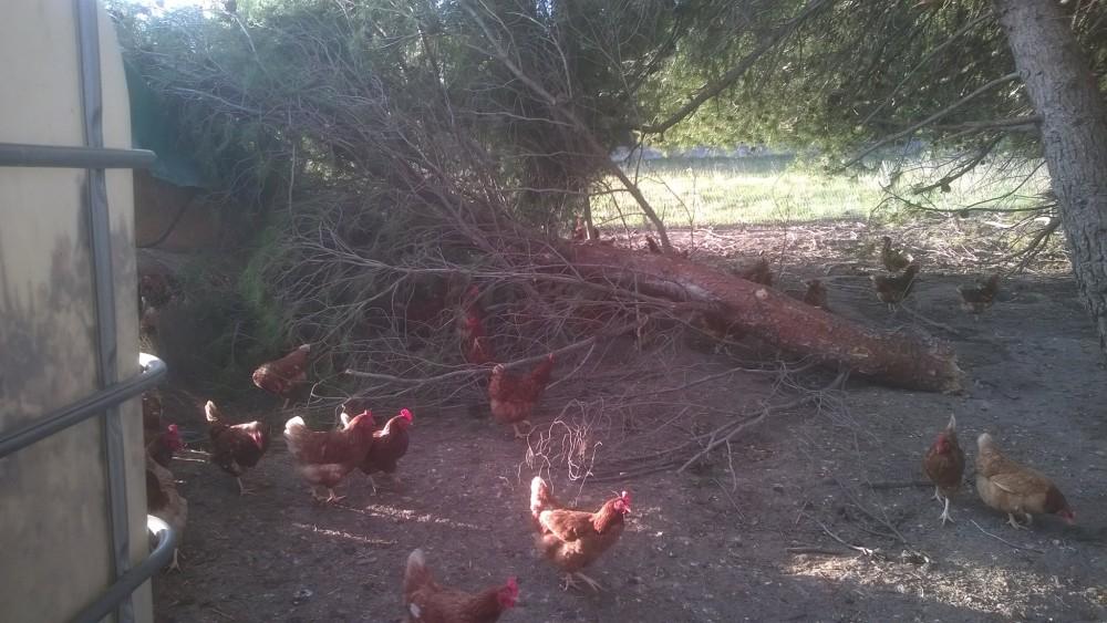 poules 4
